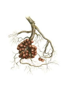 Ontano nero – radici, fissazione azoto, Black Alder - nitrogen-fixing root - Alnus glutinosa