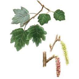 Pioppo bianco, Silver Poplar - Populus alba