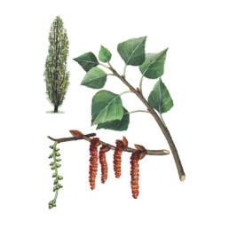 Pioppo cipressino, Black Poplar - Populus nigra