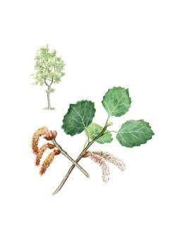 Pioppo tremulo, Common Aspen - Populus tremula