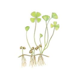 Quadrifoglio acquatico, Four Leaf Clover - Marsilea quadrifolia