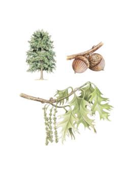 Quercia palustre, Pin Oak - Quesrcus palustris