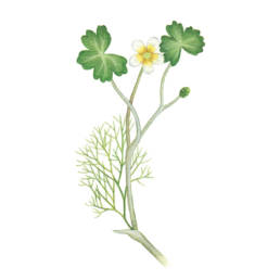 Ranuncolo d'acqua, Common Water-crowfoot - Ranunculus aquatilis