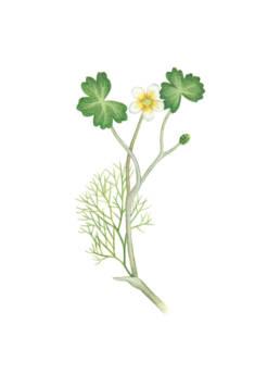 Ranuncolo d'acqua, Common Water-crowfoot - Ranunculus aquatilis