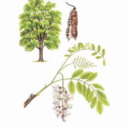 Robinia, Black Locust - Robinia pseudoacacia