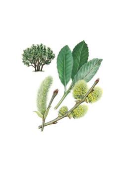 Salice grigio, Grey Willow - Salix cinereo