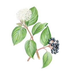 Sanguinella, Crabgrass - Cornus sanguinea