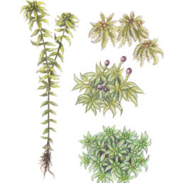 Sfagno palustre, Prairie Sphagnum - Sphagnum palustre