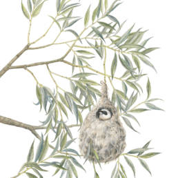 Salice bianco e pendolino, White Willow and Eurasian Penduline - Remiz pendulinus, 2019
