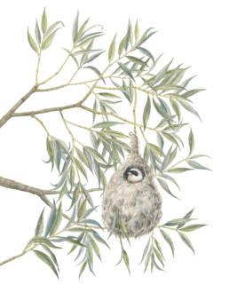 Salice bianco e pendolino, White Willow and Eurasian Penduline - Remiz pendulinus, 2019